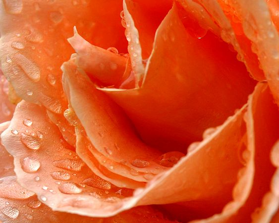 Peach rose petals - www.saraheinrichs.smugsmug.com - 25718972-M
