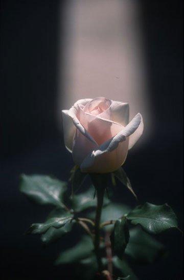 Rose Ciel